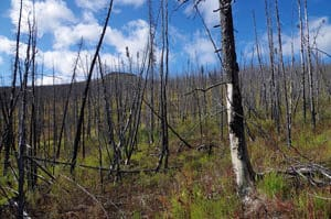 Figure 4. Burned white (or hybrid) spruce stands. Post fi re vegetation is commonly mixed shrub, forb, and grass on well-drained upland sites.