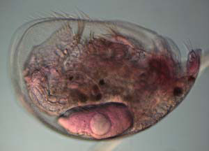Figure 4. Alona guttata, an example of Bd-eating zooplankton.