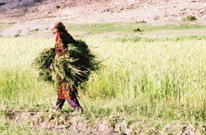 Figure 2. Gathering fodder in Guddara. Photo: Karim-Aly Kassam.