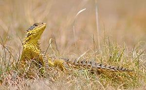 The endemic sungazer lizard