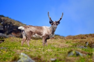 Reindeer herds are increasingly affected by the greening of the Arctic, as the cover of mosses and lichens gets reduced.