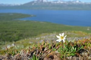 The subarctic mountain vegetation is dominated by sturdy sedges, tiny mosses and small flowers, like this mountain avens (Dryas octopetala).