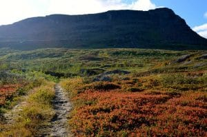 A typical subarctic mountain trail, winding through a blueberry field (Vaccinium myrtillus).