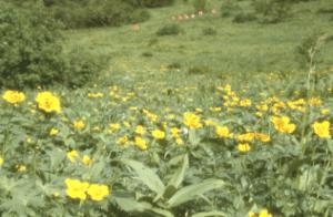 Alpine meadow of Trollius japonicas in Kusasuberi of Mount Kitadake in 1980.