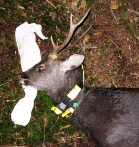Sika deer equipped with GPS collar