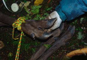 Worn down sika deer hooves.