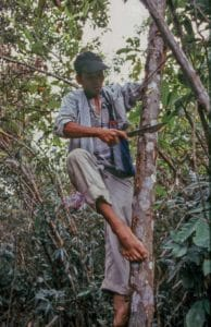 A farmer collecting Siam Benzoin as a perfume material from Styrax tonkinensis in swidden fallow.