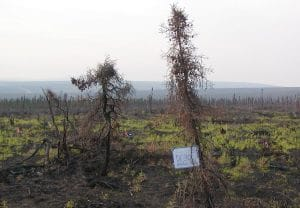 Photo 3: Picture of a burned treeline site near Finger Mountain in 2005, one year after fire. Photo credit: Jill Johnstone.
