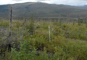 Photo 5: Low establishment of tree seedlings leads to shrub dominance at a treeline site that burned with low fire severity. Photo credit: Jill Johnstone.