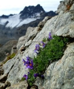 Linaria alpina on Piz Forun with Piz Kesch in the background. Photo: Sarah Burg/SLF, Switzerland.