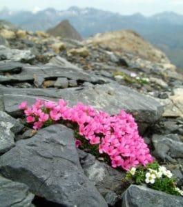 Androsace ciliata and Hutchinsia alpina on Punta Suelza (2972m) in Central Pyrenees. Photo: J.V. Ferrández/ IPE-CSIC, Spain.