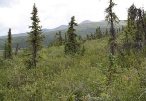 Photo 4: Picture of unburned site near treeline, where the vegetation is dominated by shrubs and sparse spruce trees. Photo credit: Jill Johnstone.